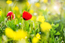 Wild Flowers And Poppy At Wild...