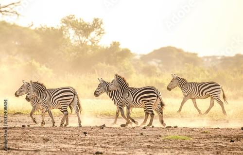 Zebra fighting in savanna Wallpaper Mural