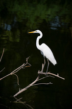 White Bird And Dark Background When It's Waiting To Fishing For Eat
