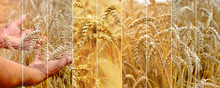 Photo Collage Of Spikelets Of ...