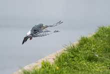 A Pigeon Gracefully Landing On...