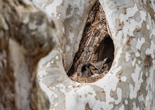 Great Horned Owl In A Tree