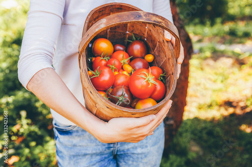 Fototapeta Gardening and agriculture concept. Young woman farm worker hands holding basket picking fresh ripe organic tomatoes in garden. Greenhouse produce. Vegetable food production. obraz