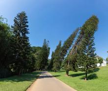 Dancing Pines In Royal Botanic Gardens. Peradeniya, Kandy, Sri Lanka.