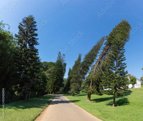 Tablou Canvas Dancing pines in Royal Botanic Gardens