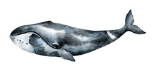 Watercolor Bowhead Whale Illustration Isolated On White Background. Hand-painted Realistic Underwater Animal Art.