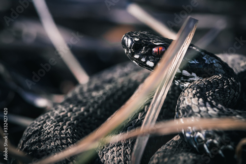 Photo Red Eyed European Adder Curled Up Alert