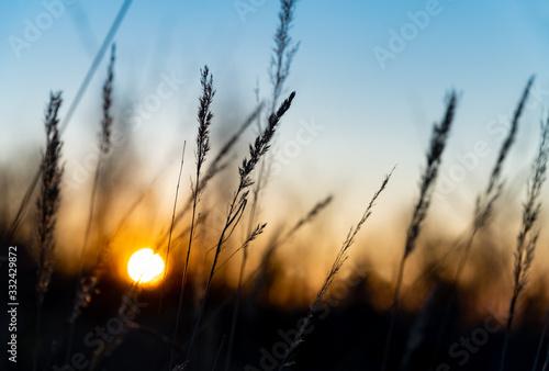 Obraz na plátně Gras Gräser Halme Silhouetten Gegenlicht Sonnenuntergang Dämmerung Sonnenaufgang