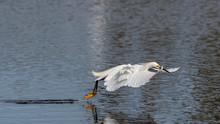 A Snowy Egret Landing On Water