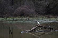 A Beautiful Snowy Egret Perche...