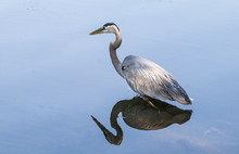 A Great Blue Heron And Its Ref...