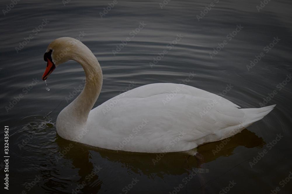 Fototapeta Majestatyczny Łabędź pozujący na jeziorze. Chorzow Silesia Polska Park slaski.