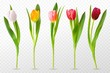Colorful tulips. Beautiful tulip buds, spring flowers design for greeting card 8 march or mothers day, floral elements realistic vector set. Tulip red, orange flower blossom, spring bloom illustration