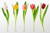Fototapeta Tulips - Colorful tulips. Beautiful tulip buds, spring flowers design for greeting card 8 march or mothers day, floral elements realistic vector set. Tulip red, orange flower blossom, spring bloom illustration