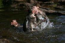 Fighting Monkeys In Water