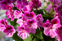 Grandiflora Royal Pelargonium ...