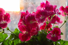 Red Flowers Of Pelargonium Grandiflora On The Window Splashed By Rain, In The Shade And In The Rays Of The Setting Sun