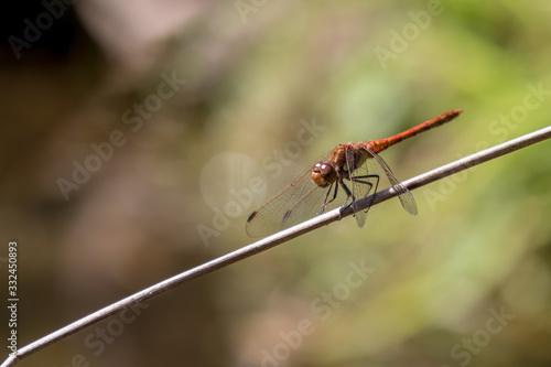 Fotografia, Obraz Common Darter (Sympetrum striolatum) resting on a plant stem