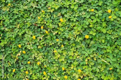 Photo Pinto Peanut or Arachis pintoi with green leaves and yellow flower in the garden