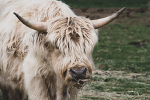 A Tan Young Highland Cattle Bu...