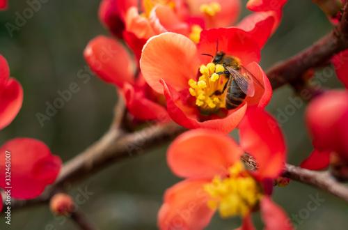 Fotografía abeille butinant une fleur de cognassier