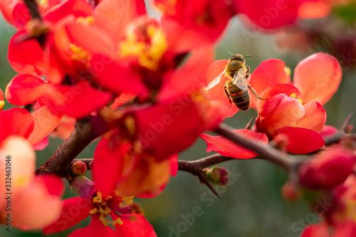 Canvastavla abeille butinant une fleur de cognassier