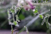 Fumaria Capreolata, The White ...