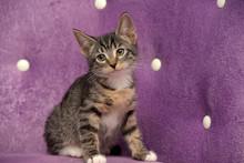Cute Striped European Shorthair Little Kitten