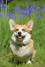 Red Corgi Among Blooming  Irises