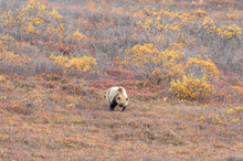 Grizzly Bear In Denali National Park Alaska In Autumn