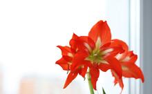 Orange Lily Flowers On A Backg...