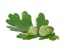 Green Acorn Fruits With Green ...