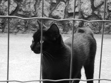 Black Cat Behind Fence