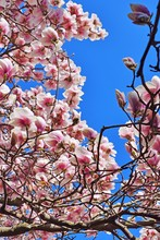 Pink Flowers Of A Magnolia Tre...