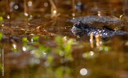 common frog Canvas Print