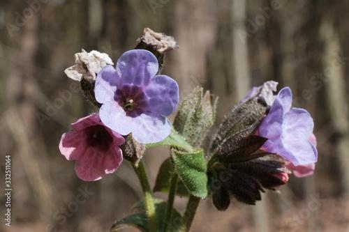 Little violet flowers of  lungwort (Pulmonaria officinalis) - medicinal plant Obraz na płótnie