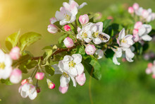 Honey Bee Pollinating Apple Blossom. The Apple Tree Blooms. Honey Bee Collects Nectar On The Flowers Apple Trees. Bee Sitting On An Apple Blossom. Spring Flowers