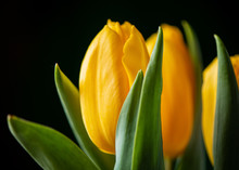 Bouquet Of Three Yellow Tulips On A Black Background.