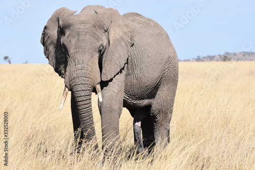 African elephant in Serengeti National Park, Tanzania