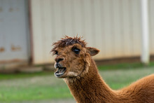 Furry Brown Alpaca Chewing Wit...