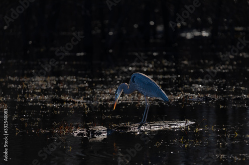 A Great Blue Heron eagerly waits for a passing fish to eat as it sits on a log Canvas Print