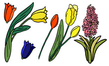 Hyacinth And Tulip On White Is...