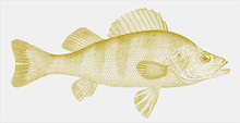 Yellow Perch, Perca Flavescens, A Popular And Delicious Sport Fish Native To North America In Side View