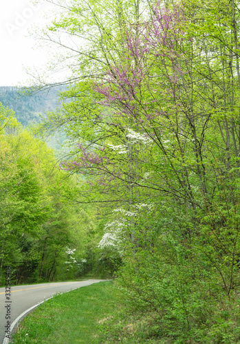 Dogwood Trees bloom along the side of the road in the Smokies.