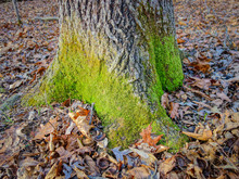 Green Moss Grows At The Base Of A Large Tree Surrounded By Autumn Leaves In The Forest.