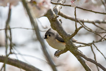 Tufted Titmouse Perched In A Flowering Cherry Tree