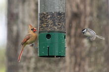 Female Cardinal At Feeder With...