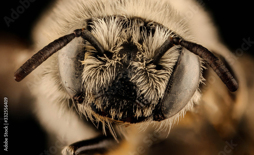 Vászonkép Diadasia diminuta, bee Macro , Closeup of face fluffy head of bee, Flying insect