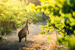 canvas print picture - Vineyard Kangaroo