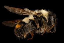 Bombus Affinis, Bee Macro Specimen, Flying Insect , Side Front Back, Tucker County, West Virginia. An Endangered Species.